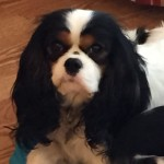 Cavalier puppies for sale michigan west michigan Radle breeder Petoskey AKC puppy