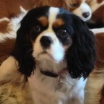 cavalier king charles spaniel puppy radle breeder AKC registered west michigan for sale