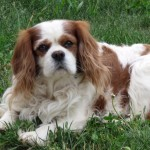cavalier king charles spaniel akc registered puppies for sale recommened breeder radle west michigan puppy