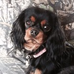 cavalier king charles spaniel puppies for sale recommended bredder radle west michigan akc registered puppy