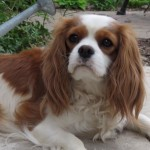 cavalier king charles spaniel puppies for sale west michigan petoskey radle recommended breeder