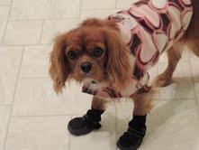 cavailer michigan puppy breeder radle petoskey