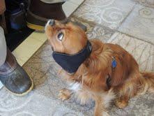cavalier puppies for sale michigan breeder radle petoskey