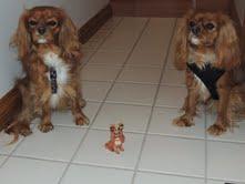 cavalier puppy michigan breeder radle petoskey