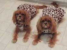 cavalier king charles spaniel puppy for sale michigan breeder radle petoskey