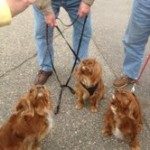 cavalier king charles spaniel puppies puppy for sale michigan breeder radle AKC petoskey