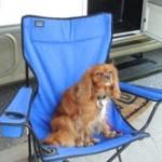 cavalier king charles spaniel puppie puppy for sale michigan breeder radle Petoskey AKC