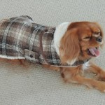 Cavalier king charles spaniel puppy for sale michigan breeder radle akc