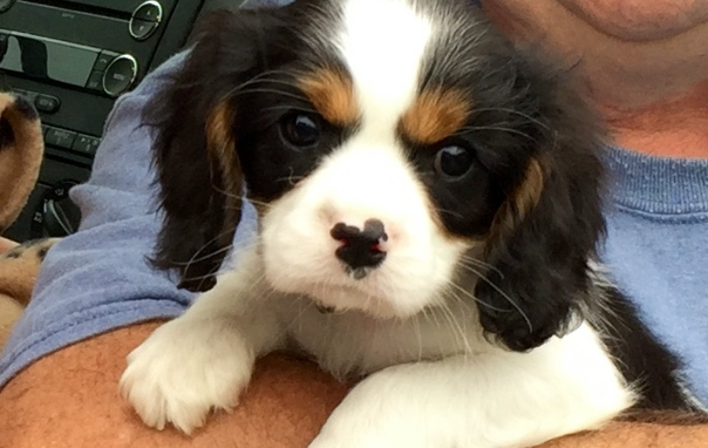 Reputable Cavalier King Charles Spaniel Puppies Breeder In Michigan